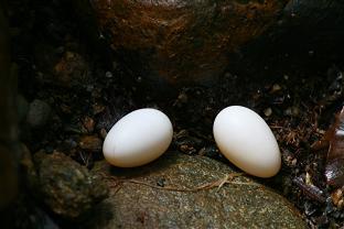 Henicorhina leucophrys eggs