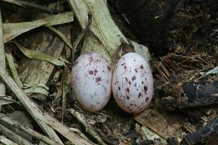 Sooty Antbird Eggs (Myrmeciza fortis)