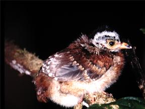 Nestling of the Cauca Guan