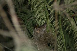 Amethyst-Throated Sunangel Nest (Heliangelus amethysticollis)