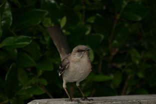 Male perching