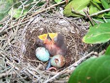 Mockingbird eggs and nestlings