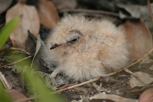 Uropsalis segmentata nestling