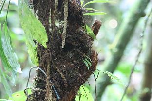 Nest Euphonia xantogaster