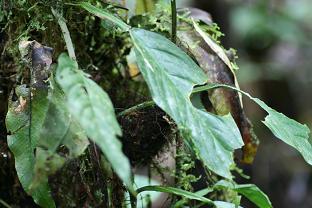 Hylophylax naevius nest