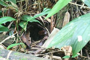 Myrmeciza fortis nest
