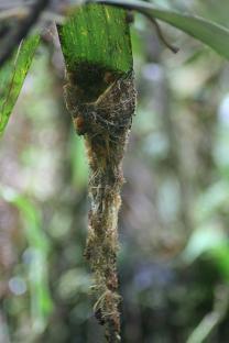 Reddish Hermit Nest (Phaetornis ruber)