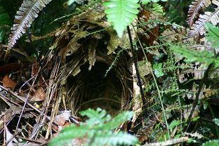 Pyriglena leuconota nest