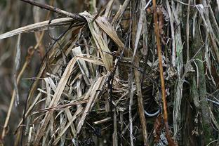 Saltator maximus nest