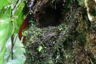 Turdus leucops nest