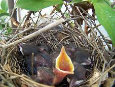 mockingbird nestling 5 days old