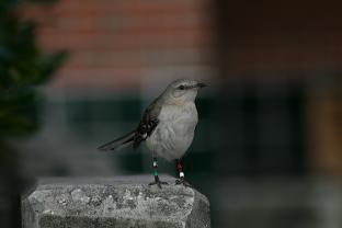 Northern Mockingbird Banded
