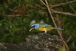 Thraupis bonariensis