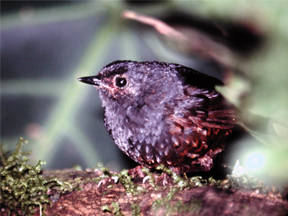 Stlie's Tapaculo