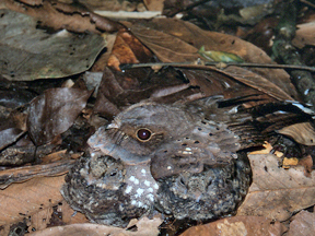 Nyctiphrynus ocellatus