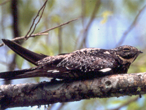 Male of Sand-colored Nighthawk