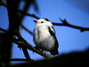 Juvenile of Pied water-tyrant