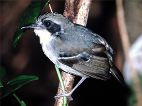 Male of Black-faced Antbird