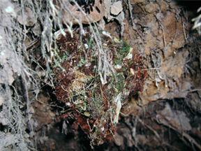 Nest of Sepia-capped Flycatcher