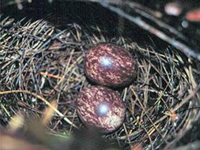 Eggs of Plumbeous Antbird