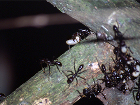 Paraponera clavata transporting eggs
