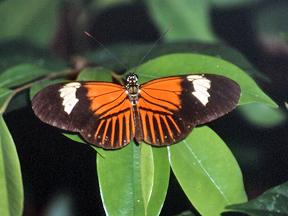 Heliconius sp