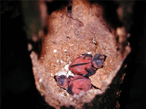 3-days old nestling of Collared Trogon