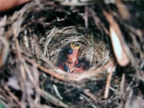 Nestlings of the Slate-throated Redstart