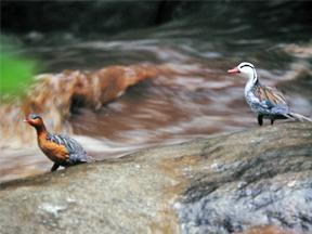Pair of Torrent Duck