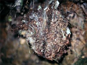 Nest of Variegated Bristle-Tyrant