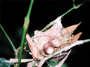 Nest and eggs of Band-tailed Manakin