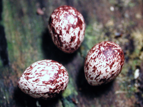 Eggs of Rufous-tailed Flatbill
