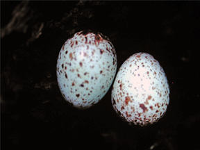 Eggs of The Pale-eyed Thrush