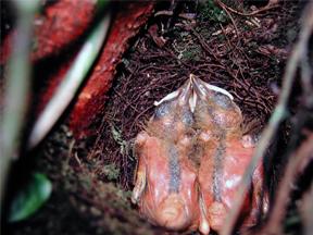 Nestlings of the Pale-eyed Thrush