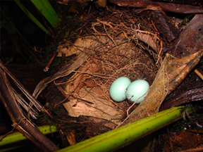 Nest and eggs of Moustached Antpipitta