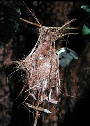 Nest of White-eyed Tody-tyrant