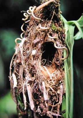 Nest of Short-tailed Pygmy-tyrant
