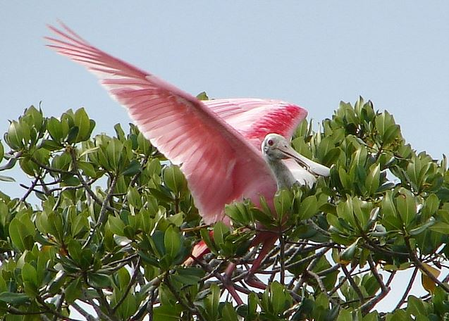 Roseate Spoonbill in Florida Bay.